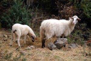 Ovčarstvo otoka Cresa